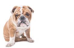 Worried english bulldog Royalty Free Stock Photos