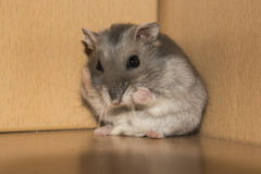 Worried Hamster Stock Photo