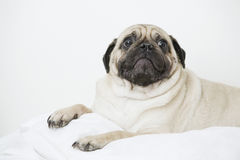 Worried looking small Pug dog Royalty Free Stock Photo