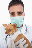 Worried male vet holding chihuahua. On white background Stock Images