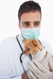 Worried male vet holding a sick chihuahua Stock Image