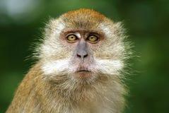 Worried monkey expression stock image