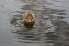Worry: Wild Snow Monkey in a Whirlpool Royalty Free Stock Images