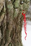 Worship of the oak, someone brought and hung a red string on the trunk of an oak tree and it is made for making a wish royalty free stock photo
