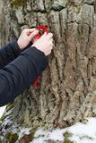 Worship of the oak, woman hanging a red string on the trunk of an oak tree and it is made for making a wish Stock Photography