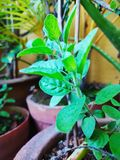The worship plant indian tulsaji stock images
