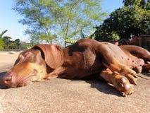 Worsthond die in de zon zonnebaden royalty-vrije stock fotografie