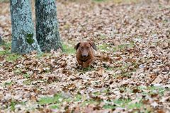 Worstje/tekkelhond die de bladeren doornemen royalty-vrije stock afbeelding