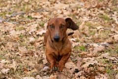 Worstje/tekkelhond die de bladeren op een koude de herfstochtend doornemen royalty-vrije stock fotografie