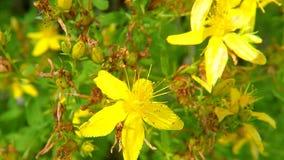 Wort του ST John, ιατρικές εγκαταστάσεις με το λουλούδι απόθεμα βίντεο
