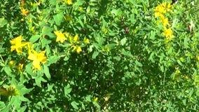 Wort του ST John ` s, ιατρικές εγκαταστάσεις με το λουλούδι στον τομέα απόθεμα βίντεο