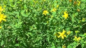 Wort του ST John ` s, ιατρικές εγκαταστάσεις με το λουλούδι στον τομέα φιλμ μικρού μήκους