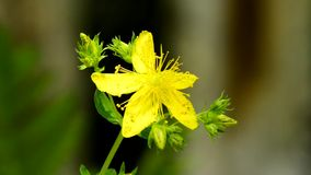 Wort του ST John ` s, ιατρικές εγκαταστάσεις με το λουλούδι απόθεμα βίντεο