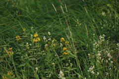 Wort του ST John ` s λουλούδια Στοκ φωτογραφία με δικαίωμα ελεύθερης χρήσης