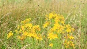 Wort του ST-John ` s που ανθίζει στον τομέα Ιατρικά λουλούδια απόθεμα βίντεο