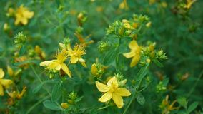 Wort do ` s de St John, planta medicinal com a flor no campo filme