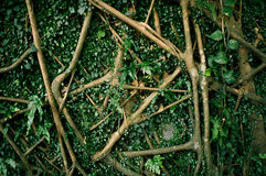 wortel Royalty-vrije Stock Fotografie