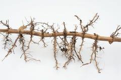 Wortel van Bamboe Stock Fotografie