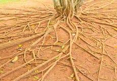Wortel van boom Royalty-vrije Stock Fotografie