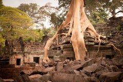 Wortel van de boom, Angkor, Kambodja Stock Afbeeldingen