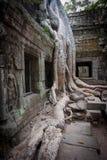 Wortel van de boom, Angkor, Kambodja Stock Fotografie