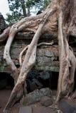 Wortel van de boom, Angkor, Kambodja Royalty-vrije Stock Fotografie