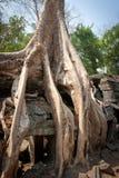 Wortel van de boom, Angkor Wat, Kambodja Royalty-vrije Stock Foto's
