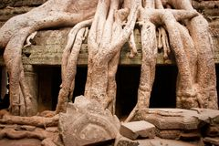 Wortel van de boom, Angkor Wat, Kambodja Stock Afbeelding