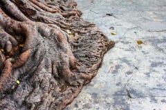 Wortel van de boom Bodhi. Royalty-vrije Stock Fotografie
