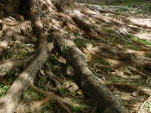 Wortel van de grote boom met droge bladeren, licht en schaduw Stock Fotografie