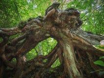 Wortel van een gevallen boom stock fotografie