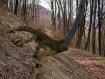 Wortels die met mos in het bos worden behandeld stock afbeelding
