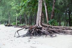 Wortels die van boom zich volkomen bevinden omdat door zeewater erodeer royalty-vrije stock foto's