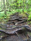Wortels in het Noordelijke Bos van Wisconsin in de Zomer royalty-vrije stock foto's