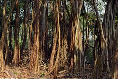 Wortels van Banyan-Boom Royalty-vrije Stock Foto's
