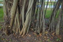 Wortels van Banyan-Boom Royalty-vrije Stock Foto