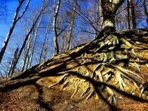 Wortels van de boom Stock Afbeeldingen