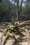 Wortels van een boom Royalty-vrije Stock Foto's