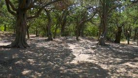 Wortels van een boom bij bos stock video