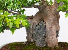 Wortels van een esdoornboom als bonsai Stock Afbeelding