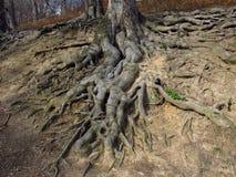 Wortels van een oude boom Stock Foto