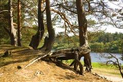 Wortels van een pijnboom Stock Foto's