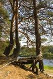 Wortels van een pijnboom Stock Fotografie