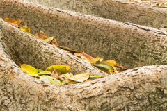 Wortels van vijgeboom met bladeren Stock Afbeeldingen