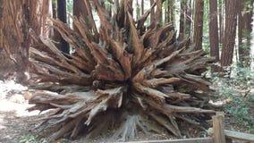 Wortelsysteem van een Californische sequoia Stock Afbeelding