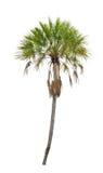 Wosk palmy drzewko palmowe. (Copernicia albumy) Zdjęcie Royalty Free