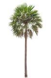 Wosk palmy drzewko palmowe (Copernicia albumy) Fotografia Stock