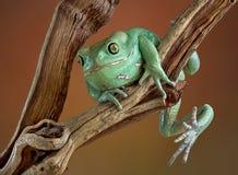 Woskowata drzewna żaba na gałąź Obrazy Stock