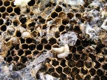 Wosku ćma larwy na infekującym pszczoły gniazdeczku rodzina pszczoły są chore z wosku ćma Fotografia Royalty Free