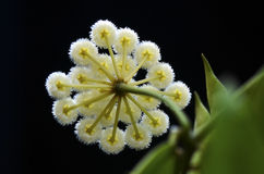 Wosku rośliny backview (Hoya Lacunosa) obraz royalty free